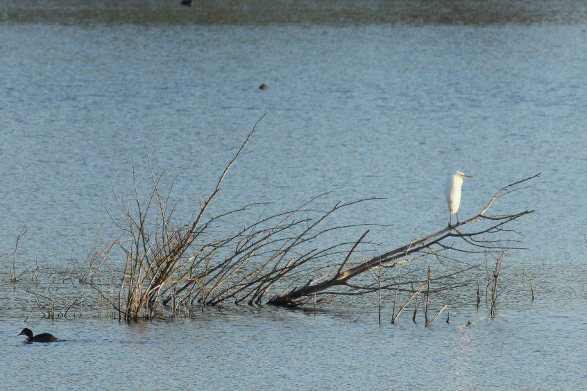 Great White Egret, 06/05/2019 (D Harris)