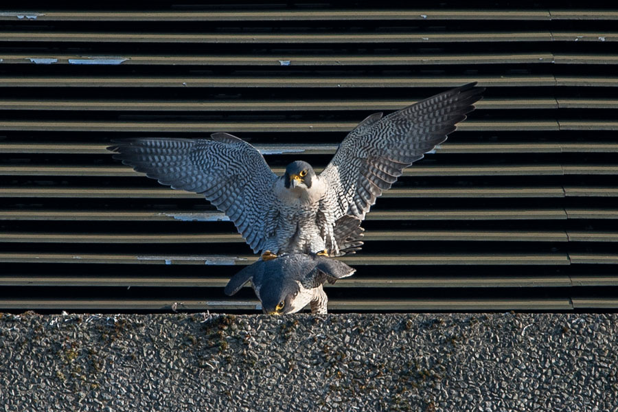 Peregrines-mating – James-Sellen