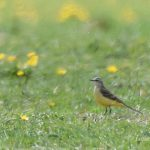 Yellow Wagtail, Worcester Park (I Rowe).