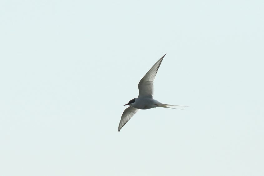 Arctic Tern, Undisclosed site, 5/5/2019 (Dave Harris)