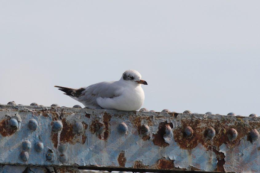 Mediterranean Gull, Undisclosed site, 9/6/2019 (Dave Harris)