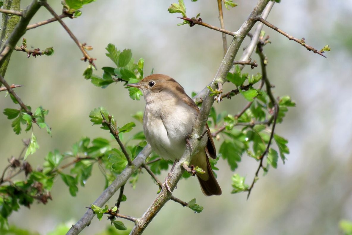 Photo: Nightingale, Shaun Ferguson