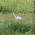 Great Egret, Tice's Meadow (M Nurse).