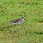 Wood Sandpiper, British Wildlife Centre (K Noble).