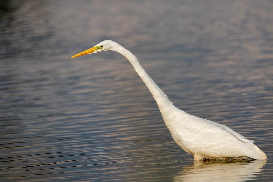 Great Egret, Richmond Park (D Muthalib).