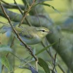 Wood Warbler, Hascombe (E Stubbs).