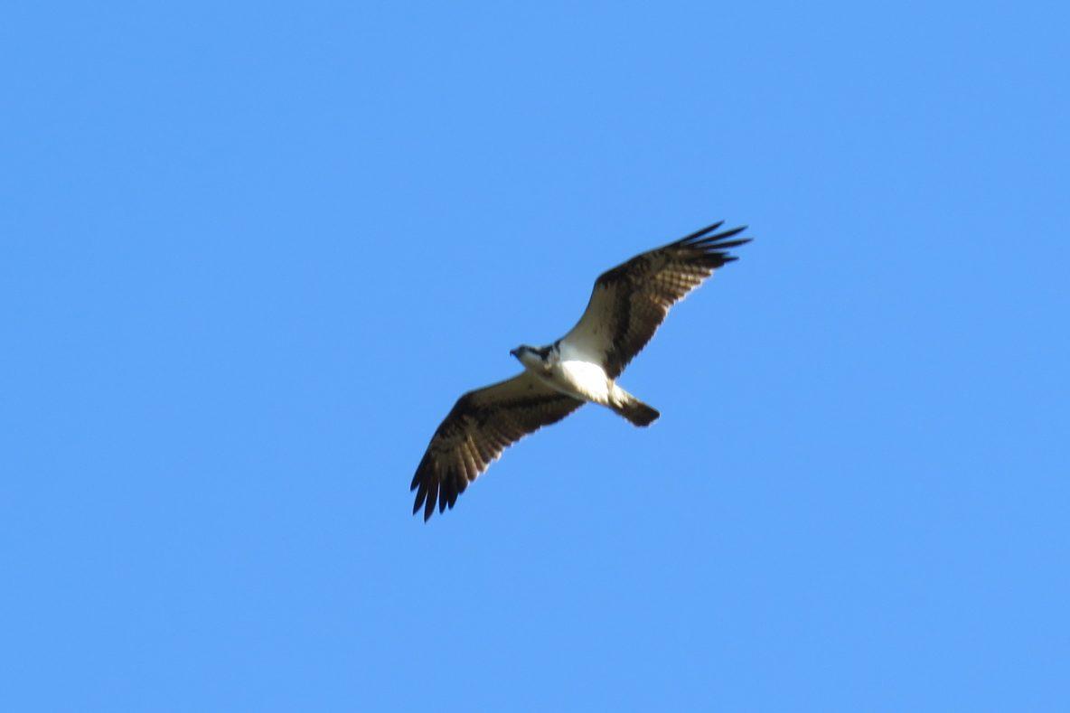 Osprey, Thursley Common (S Ferguson).