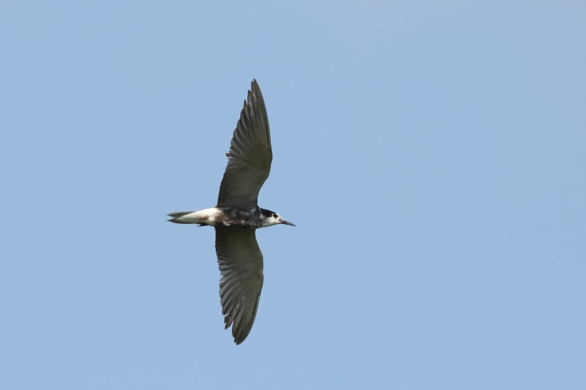 Black Tern, Undislosed site, 01/08/2019 (Dave Harris)