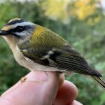 Firecrest, Capel (W Attridge).