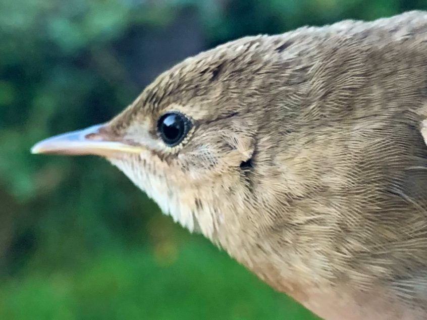 Grasshopper Warbler, Capel (W Attridge).