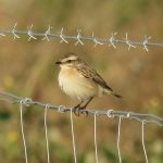 Whinchat, Beddington Farmlands (S Gale).