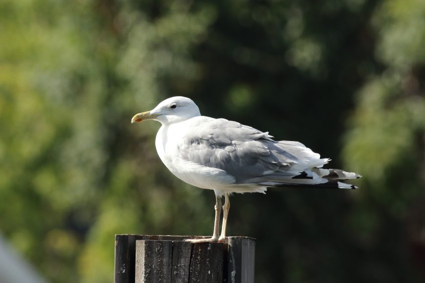 Caspian Gull, The Weir 30/08/2019 (Dave Harris)