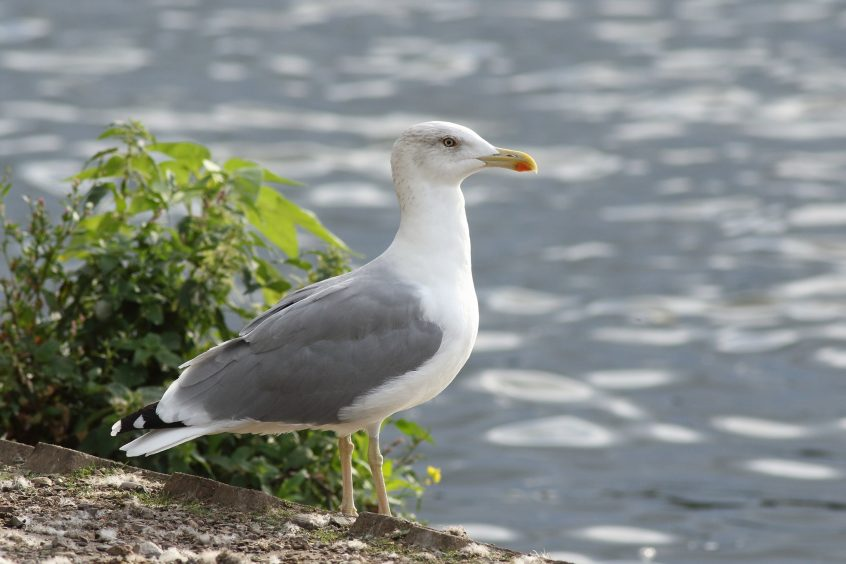 Yellow-Legged Gull, Walton Bridge 03/09/2019 (Dave Harris)