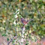 Dartford Warbler, West Clandon (M Phelps).