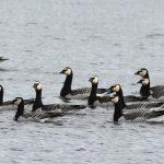 Barnacle Geese, Island Barn Reservoir (D Harris).