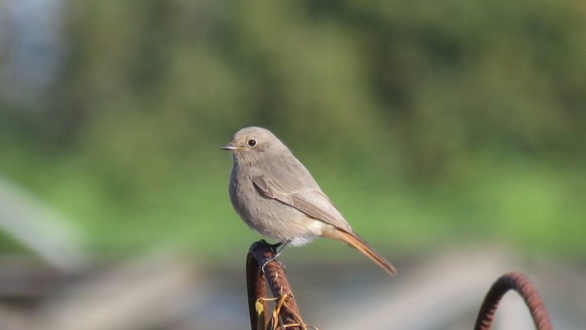Black Redstart, Little Woodcote, 27/10/2019 (I Jones)