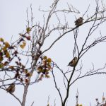 Hawfinches, Effingham Forest (M Davis).