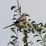 Great Grey Shrike, Horley (T Walker).