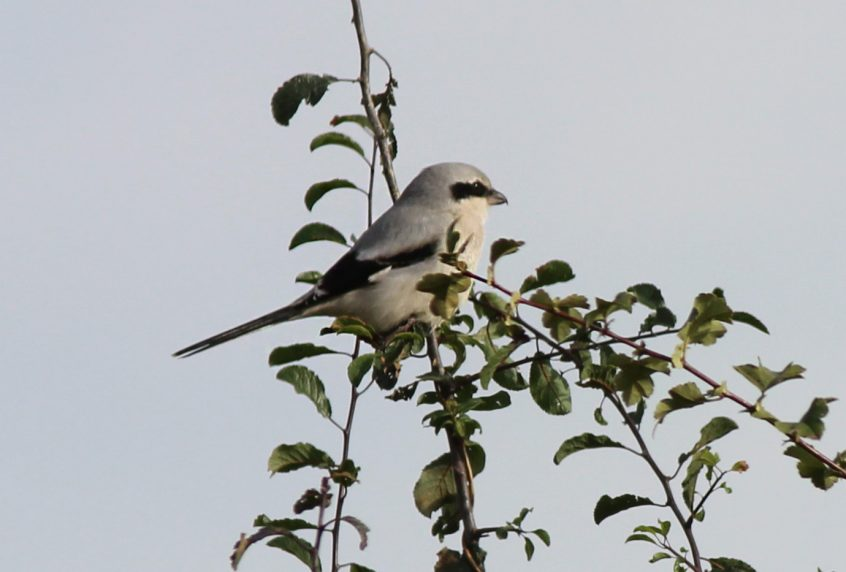 Great Grey Shrike, Horley, 28/10/2019 (T Walker)