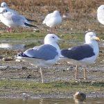 Caspian Gull, Beddington Farmlands (P Alfrey).