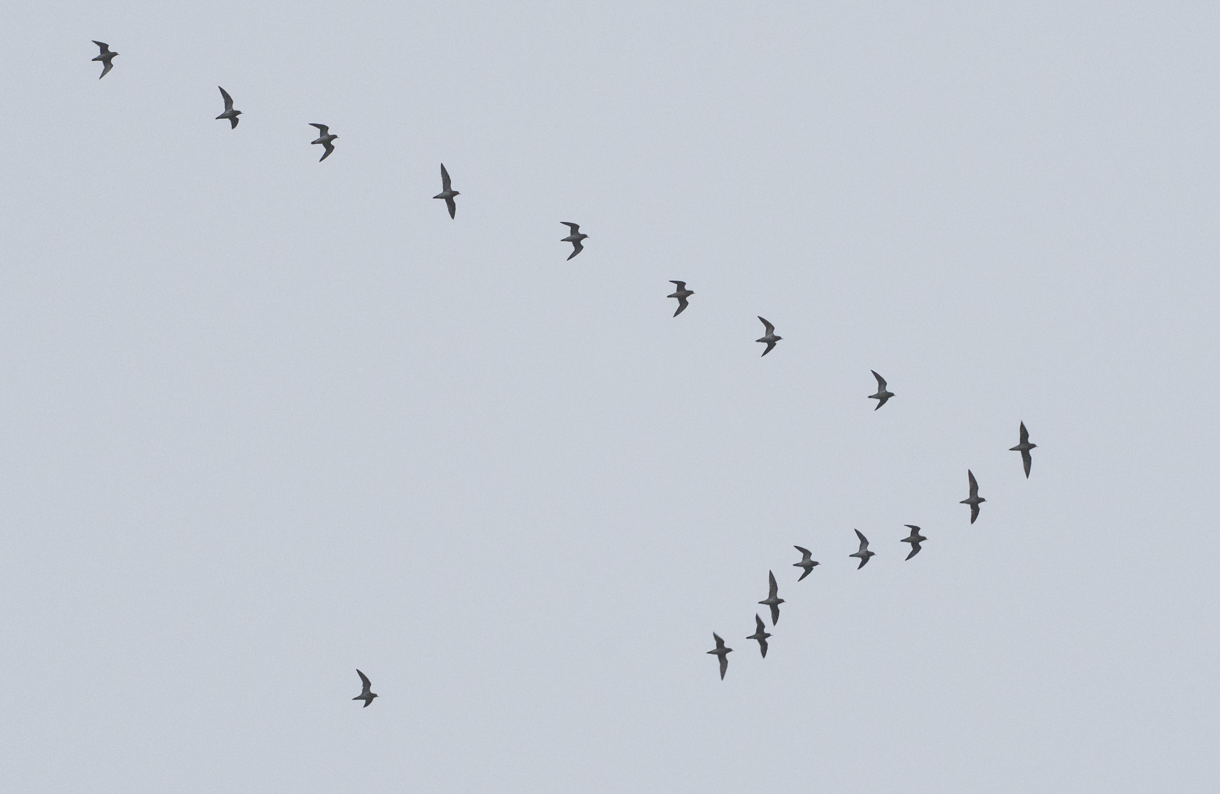 Golden Plovers, Shackleford (E Stubbs).