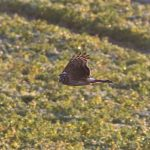Hen Harrier, Shackleford (S Minhinnick).