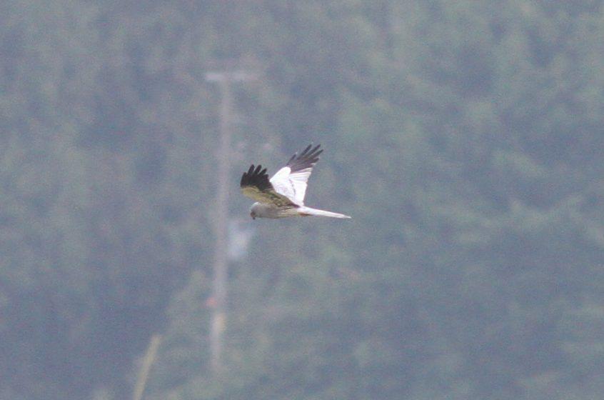 Montagu's Harrier, Tice's Meadow (R Seargent).
