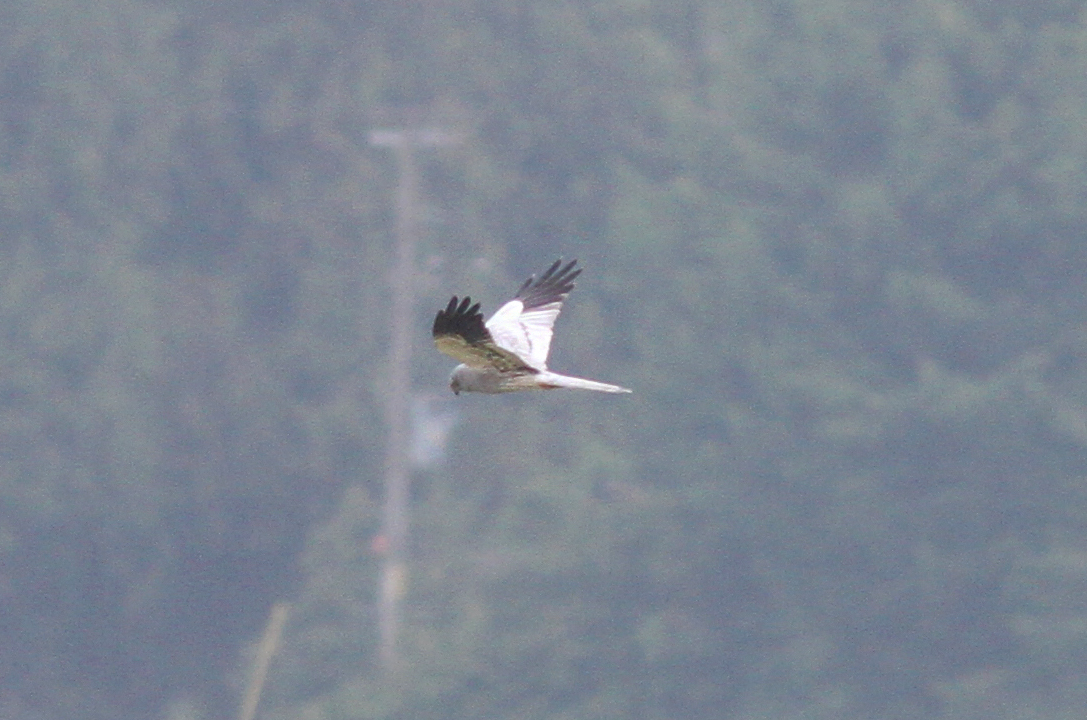 Montagu's Harrier, Tice's Meadow (R Seargent).