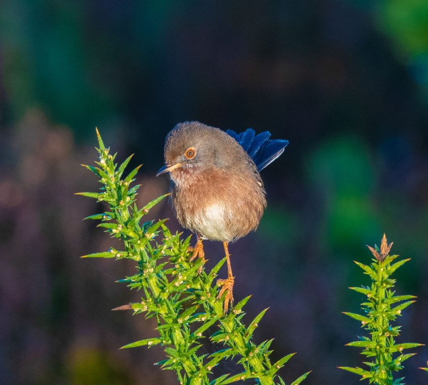 Dartford Warbler, Thursley Common, 29/11/2019 (E Stubbs)