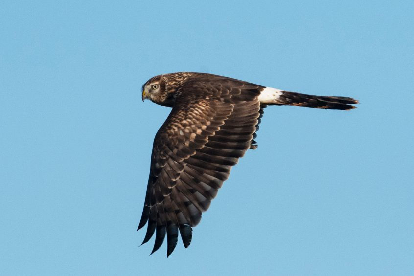 Hen Harrier, Shackleford, 29/11/2019 (E Stubbs)