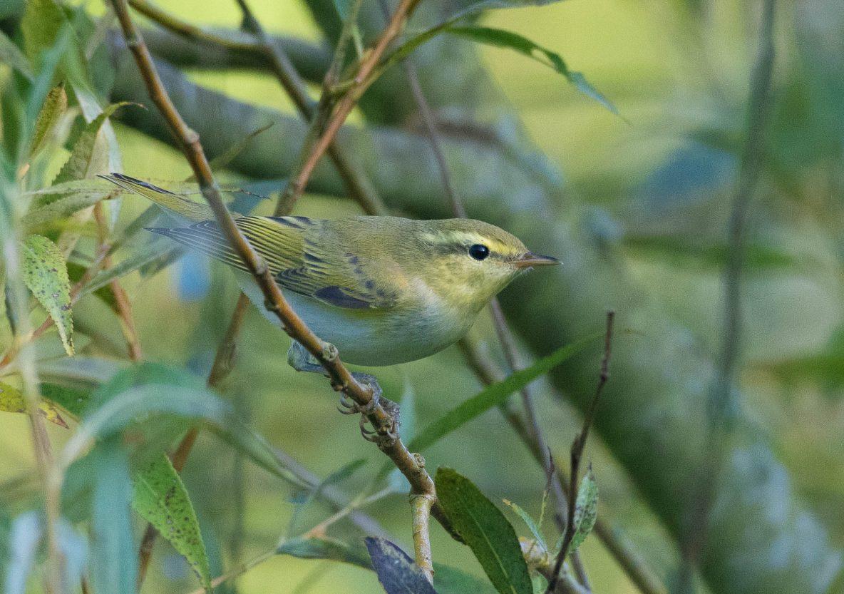 Wood Warbler, Hascombe, 26/08/2019 (E Stubbs)