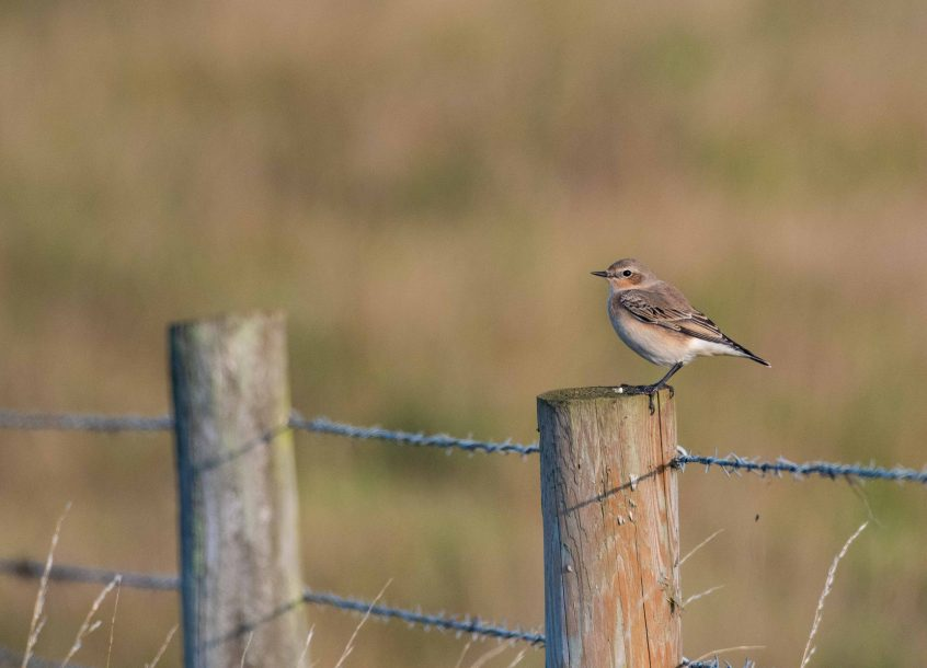 Wheatear, Birtley Green, 29/08/2019 (E Stubbs)