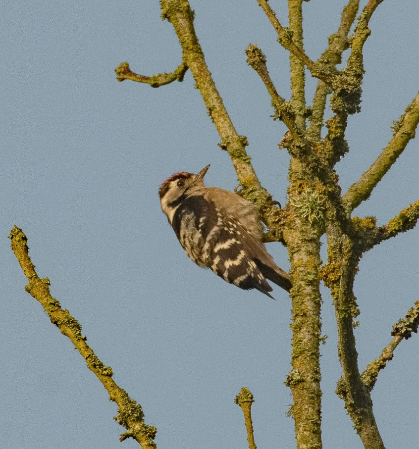 Lesser Spotted Woodpecker, Hascombe, 29/08/2019 (E Stubbs)