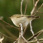 Yellow-browed Warbler, Stave Hill (R Page-Jones).