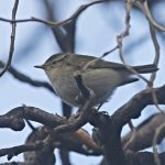 Yellow-browed Warbler, Russia Dock Woodland (R Bonser).