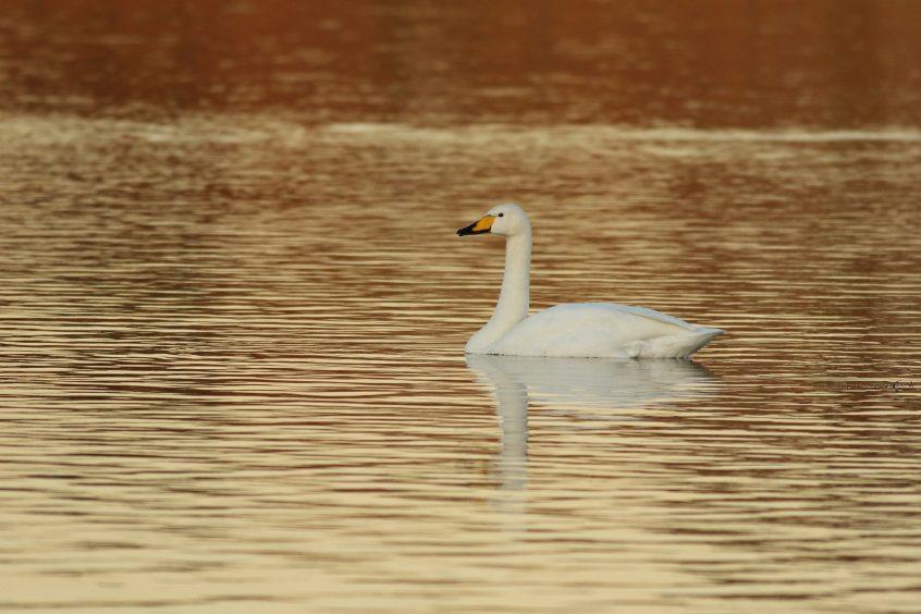 Whooper Swan, 02/12/2019 (D Harris)