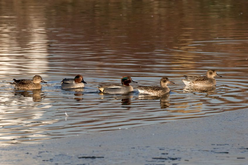 Teal, London Wetland Centre, 18/01/2017 (J Drewett)