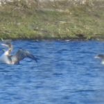 Great Northern Divers, Island Barn Reservoir (J Snell).