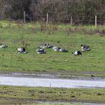 Barnacle Geese, Island Barn Reservoir (A Goddard).