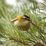 Firecrest, Stave Hill (R Page-Jones).