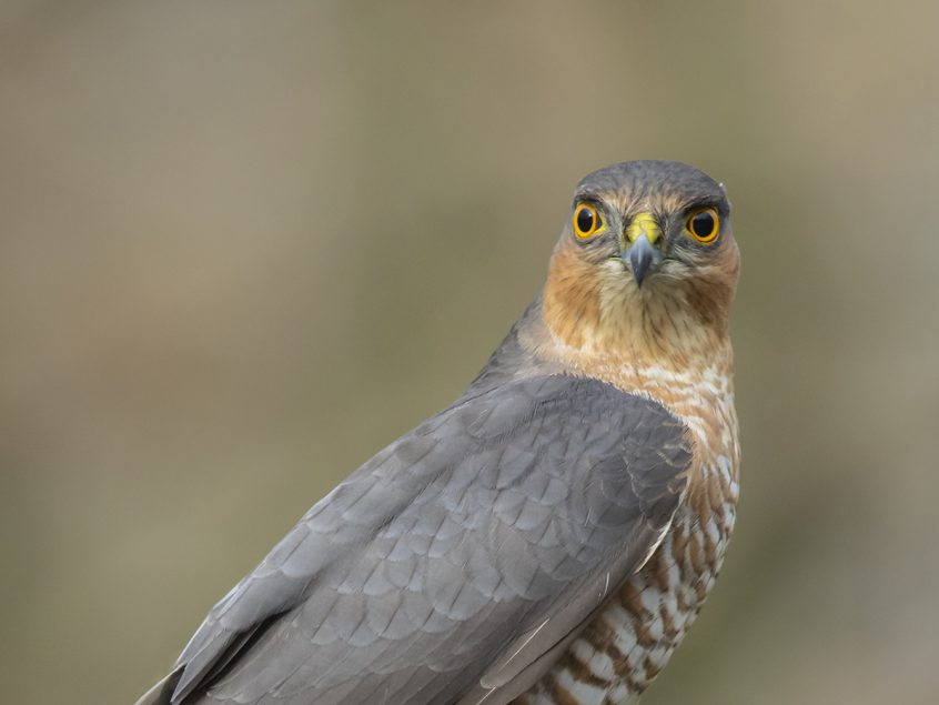 Sparrowhawk, Putney Heath, 02/02/2020 (L Evans-Hill)