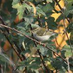 Yellow-browed Warbler, Mitcham (P Alfrey).