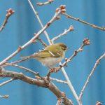 Yellow-browed Warbler, Mitcham (J Snell).