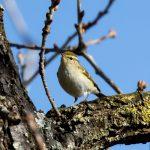 Yellow-browed Warbler, Mitcham (D Carlsson).
