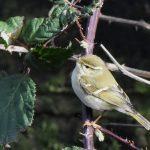 Yellow-browed Warbler, Mitcham (C Lodge).