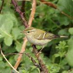 Yellow-browed Warbler, Mitcham (M Leitch).