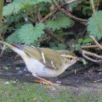 Yellow-browed Warbler, Mitcham (M Davis).