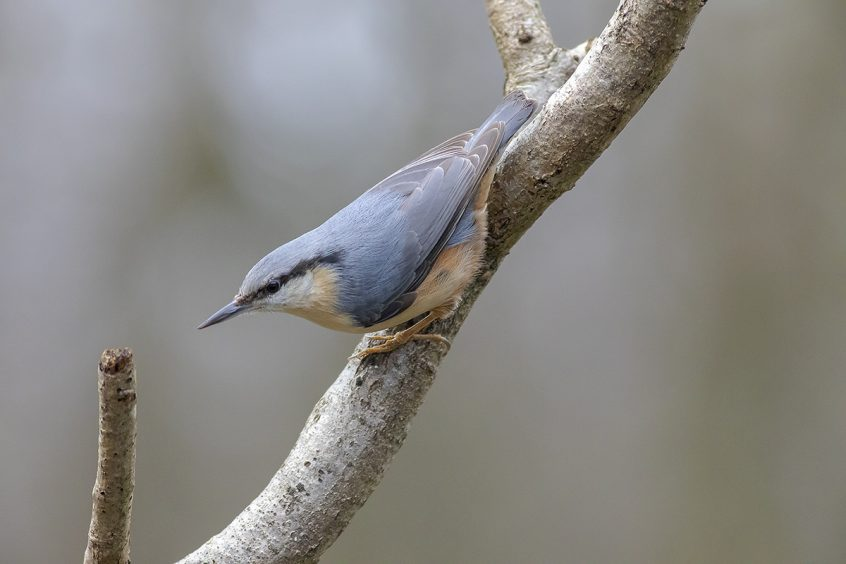 Nuthatch, Putney Heath, 07/03/2020 (L Evans-Hill)