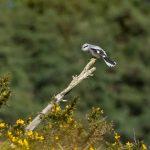 Great Grey Shrike, Frensham Common (Mike Young).