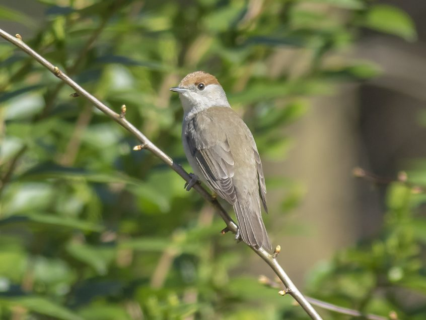 Blackcap, Putney Heath, 23/03/20 (L Evans-Hill)